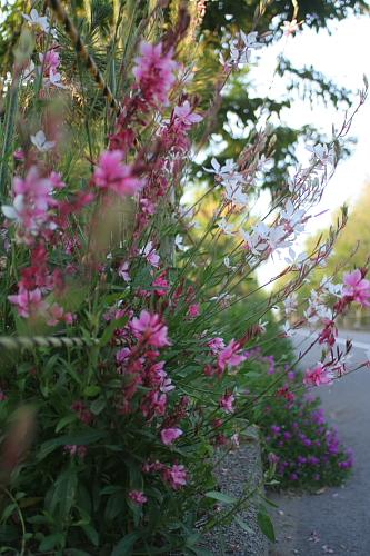 ハクチョウソウ、かわいい花ですね~