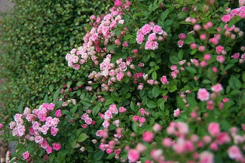 かわいい~~ちっちゃいバラがいっぱい~~