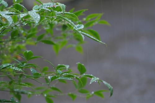 雨に濡れた南天