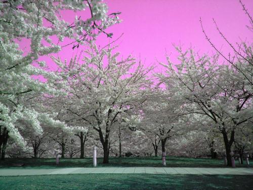 空がピンクの桜の丘