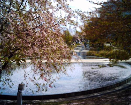 枝垂桜と池