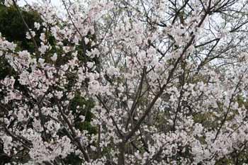 2008-04-1st-さくら