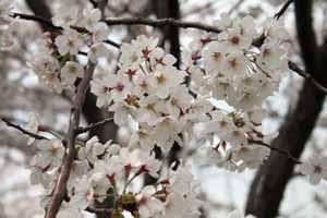 2008-04-1st-さくら2