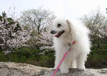 2008-04-1st-さくらSalsaバンダナ無1