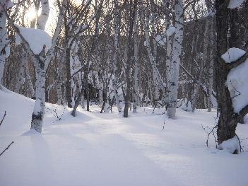 奥志賀の雪と白樺