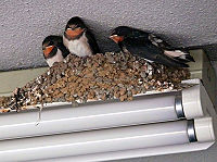 200px-Swallows_nest.jpg
