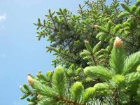 薄い緑の新芽