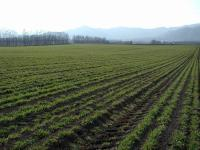 小麦畑 遠くに日高山脈がかすんでいます
