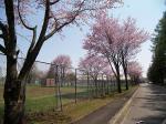 上美生の桜の名所?