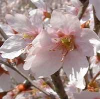 桜満開になぁーれ♪