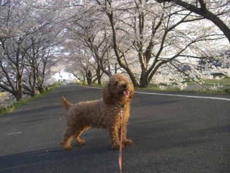 桜満開 001