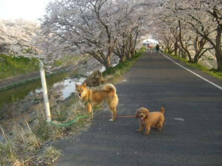 桜満開 005