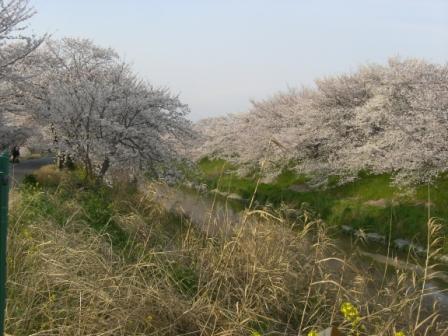 桜満開 008