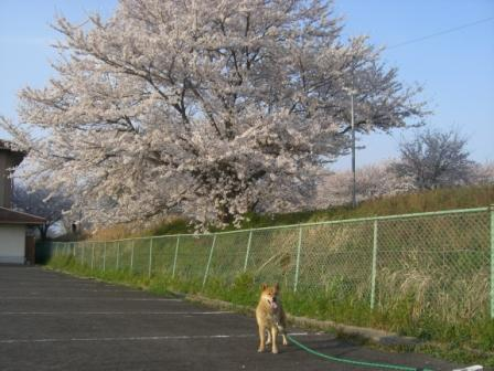 桜満開 009