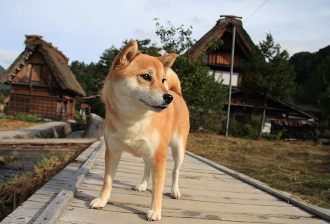 それでこそ日本犬