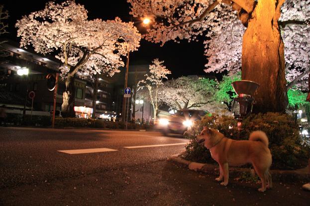 21 4月10日夜桜 119