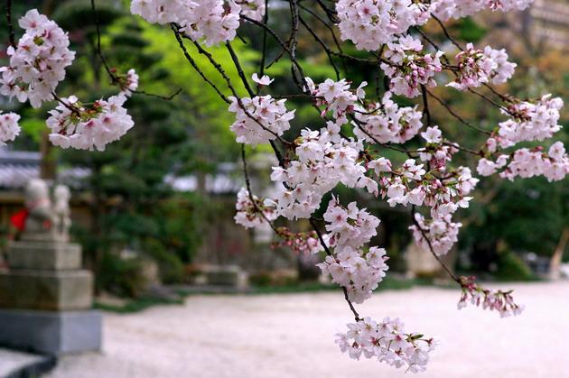 2008sakura6.jpg