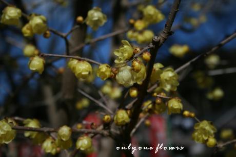 神社の境内に咲く蜜蝋