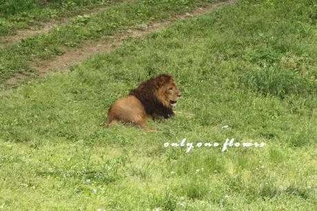 望遠だと こう見えるライオンさん