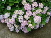 ベラの庭の紫陽花(*^_^*)
