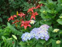 ベラの庭のユリと紫陽花(*^_^*)