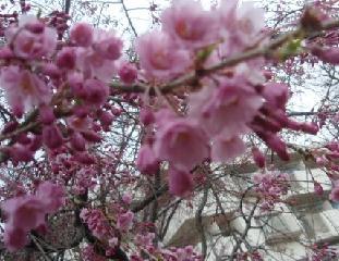 4月4日桜