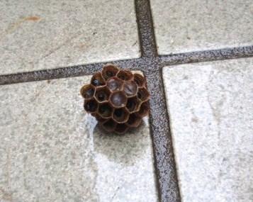 6月6日蜂の巣