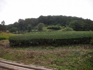 狭山の茶畑