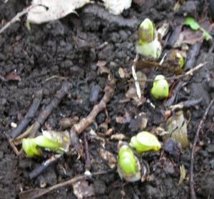 キツネノカミソリの芽生え