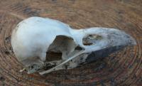 カラスの骨