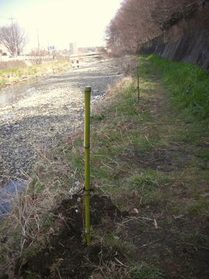 ネコヤナギの挿し木