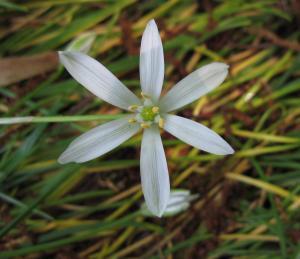 オオアマナ花