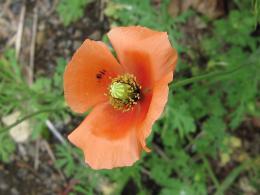 ナガミヒナゲシ花