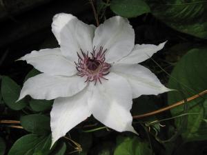 カザグルマの花