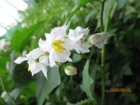 ワルナスビ花