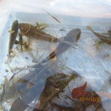 IMG_0758魚類調査_convert_20111205234437