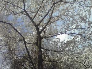 桜キレイー!