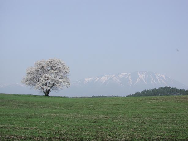 20080426一本桜