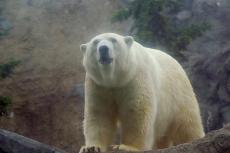迫力! 白熊