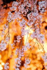 千手院夜桜4