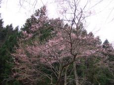 乙女峠マリア聖堂の桜