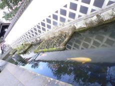殿町お堀の鯉