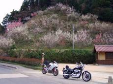 石見銀山の桜