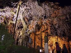 千手院夜桜2