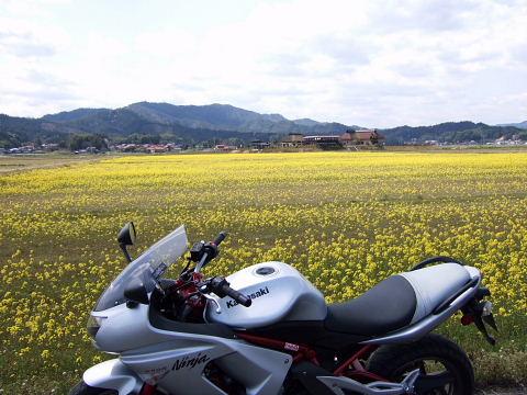 安来菜の花