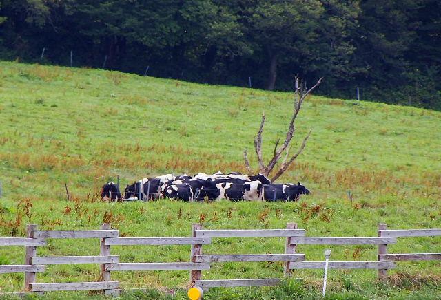 牛も暑そう