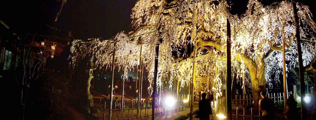 千手院夜桜1