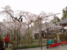 千手院夜桜13