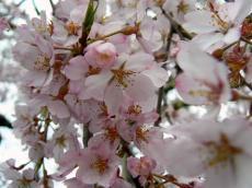 千手院夜桜15