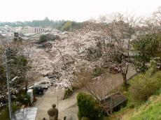 千手院夜桜16